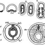 Gastrulation— What is Gastrulation?