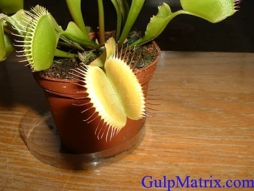 venus fly-trap