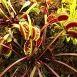 Insectivorous Plants : Pinguicula ( The Butterwort) and Dionaea (The Venus Fly-Trap)
