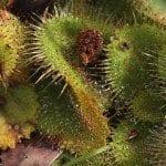 Insectivorous Plants : Drosera (The Sundew)