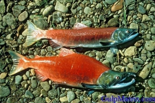 salmon fish photo
