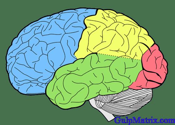 Schematic diagram of the Brain containing the hypothalamus