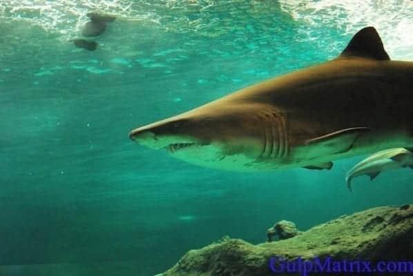 sharks are marine elasmobranchs