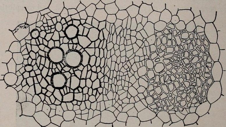 Parenchyma cells