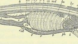 primitive features of amphioxus