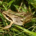 Nutrition and Metabolism in the Frog, Rana Temporaria