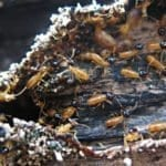 Ecological Significance of Termite-Trichonymphid Relationship