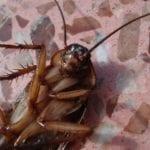 Habit, Habitat and Morphology of a Cockroach