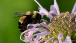 lawns-to-legumes:-minnesota-pays-homeowners-to-plant-'bee-lawns'